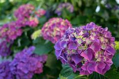 (23fumi) Tags: plant flower purple sony sigma hydrangea     19mm    nex6 sigma19mmf28dn