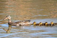Mallard Duck Mom and newborn ducklings (Daniel Taieb) Tags: mom duck ducklings newborn mallard mckenziemarsh