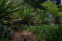 IMG_8637.CR2 (jalexartis) Tags: yard landscape backyard landscaping shrub yucca shrubbery yuccaplant