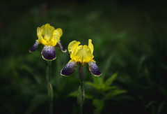 yellow and purple (Jen MacNeill) Tags: flowers iris wet water rain garden droplets rainy bloming