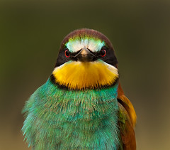 Sei que ests a! (Arlindo Fragoso) Tags: blue portrait verde green bird nature azul wings natureza bee ave ornithology birdwatching alcochete eater avifauna abelharuco