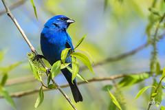 Indigo Bunting (jt893x) Tags: male bird nikon sigma d500 bunting indigobunting passerinacyanea mageemarsh nikond500 150600mm sigma150600mmf563dgoshsms jt893x