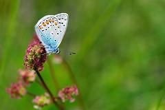 Adonis blue (Fabio Polimadei) Tags: butterfly spring lepidoptera polyommatusbellargus adonisblue 105micronikkor
