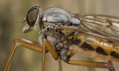 Robber Fly (Michael Hopwood) Tags: macro up closeup fly close dale district derbyshire peak robber diptera lathkill