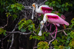 A80A0100-31 (cynaZZam photOGraphy) Tags: pink white galveston nature birds canon outdoors texas sanctuary avian spoonbills egrets highisland cynazzam