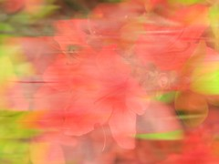 Bloomtide (Autumn's Lull) Tags: pink flowers red summer blur green nature spring blossom bokeh tide wave ethereal bloom dreamy tidal