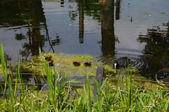 The duck family (ReneB92) Tags: netherlands duck outdoor sleep arnhem mde tired schlafen ente burgerszoo niederlande arnheim duckfamily entenfamilie