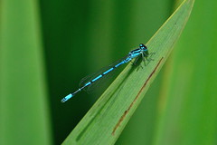 Damsel fly (jono85) Tags: macro nature insect fly nikon devon colourful damselfly damsel d3100