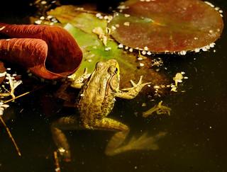 frog over leaf