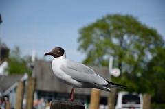 BLACK HEADED GULL (Duncan Disorderly2011) Tags: seagull black headed nikond7000 bird