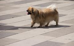 Popcorn (Yvonne L Sweden) Tags: dog dogs sweden hund popcorn eskilstuna hundar tibetanskspaniel 160622 fristadstorget hundshow sommartorget