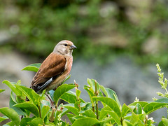 Linotte mlodieuse (bristian) Tags: animaux oiseaux linottemlodieuse