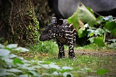 Big feet discover the world - Young Malayan Tapir (Photography by Eric Hentze) Tags: travel colour nature animal germany mammal deutschland zoo nikon colorful outdoor natur young leipzig neugier animalplanet animale tapir tier 2016 animalphotography tierfotografie jungtier sugetier malayantapir zooleipzig asiantapir pflanzenfresser ngstlich tapirusindicus schabrackentapir d7100 itsazoooutthere flickrtravelaward nikond7100 erichentze
