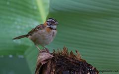 Rufous-collared Sparrow (birdingexperience) Tags: nature canon photography costarica wildlife birding sparrow cartago wildlifephotography birdingexperience