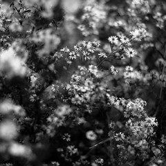 Summer Wildflowers 019 (noahbw) Tags: flowers autumn blackandwhite bw abstract blur monochrome forest square landscape blackwhite woods nikon dof natural depthoffield dreamy dreamlike indianboundarypark d5000 noahbw