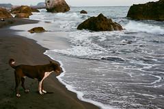 Watching and Waiting (callup159777) Tags: sea dog film beach animal wave kaohsiung agfa vista400