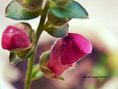 DSCN3897 (gabrielabaryov) Tags: flor flores fray bentos rosa verde pink flower flora green macro profundidad de campo natural planta naturaleza uruguay color pastel fuccia fucsia pelitos pelo flowers conejito antirrhinum