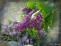 Mackinac Island Lilacs (Passion4Nature) Tags: flowers spring michigan textures upnorth ie lilacfestival mackinacisland lilacs fragrance motat artmix tatot magicuniverse magicunicornverybest magicunicornmasterpiece magicuniversemasterpieces