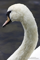 Elegance (DMeadows) Tags: white bird nature scotland swan wildlife feathers down ripples loch castledouglas carlingwarkloch tamronaf55200mmf456diiild carlingwark davidmeadows dmeadows davidameadows dameadows yahoo:yourpictures=yourbestphotoof2012 yahoo:yourpictures=light