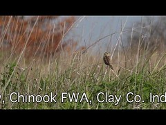 """Singing Henslow Sparrow Video (Marty Jones """"BIRDS OF INDIANA"""") Tags: county video mine singing indiana clay sparrow chinook grassland fwa henslow"""