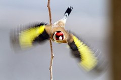 goldfinch in motion (gray clements) Tags: yellow goldfinch ngc flight explore npc birdsinflight cardueliscarduelis explored exeterdevon canon7d mygearandme grayclements