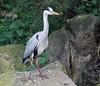"Amersfoort Zoo heron <a style=""margin-left:10px; font-size:0.8em;"" href=""http://www.flickr.com/photos/78486882@N04/7143132427/"" target=""_blank"">@flickr</a>"