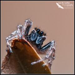 Araña Saltadora (Juan M Casillas) Tags: madrid macro insect spider iso200 wildlife araña jumpingspider leganés insecto f320 arañasaltadora speed1160 cameranikond300 focal1050mm35mm~1570mm lens1050mmf28 filenamedsc0506jpg