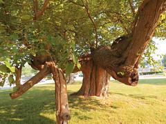 The Old Hanging Tree (Eridony) Tags: tree nature downtown jackson missouri capegirardeaucounty