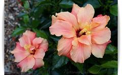 Hibiscus Duo (~~NatSnap~~) Tags: hibiscus blooms doublehibiscus pinkhibiscus hibiscusmacro adelaidebotanicalgardensblooms hibiscusdetails hibiscustwins