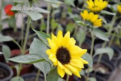 .. (alaa_Photography) Tags: flowers