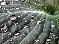 It's Raining Again (Habub3) Tags: park travel holiday plant flower macro green art texture nature lines rain canon reflections germany garden deutschland leaf drops reisen flora europa europe stuttgart kunst urlaub natur pflanze tunnel powershot diamond raindrops hosta blume makro blatt garten hdr regen vacanze 2012 tropfen reflexionen kunstwerk g12 regentropfen linien spiegelungen habub3 mygearandme