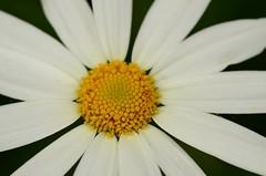 Margerite (Argyranthemum Marguerite daisy) 3870 (fotoflick65) Tags: flowers flower macro iso200 flora blumen daisy botanic marguerite blume 90mm f11 madeira 32 botanik margerite st200 ta90 argyranthemum tamronspaf90mmf28dimacro fl90 d7000 y2012 fl50100 st100200 fotoflick65 ym05