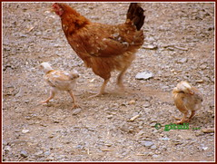 Mom hen with her chicks (Kquester) Tags: park national gandhi sanjay