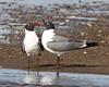 smooch (Denise Pelley) Tags: bird love nature gull herringgull raritanbaywaterfrontpark fbdg