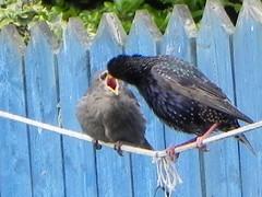 STARLING FEEDING BABY (srowell36) Tags: ringexcellence blinkagain rememberthatmomentlevel1 freedomtosoarlevel1birdphotosonly