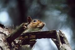 Sciurus carolinensis (FedericaBoiocchiPhotography) Tags: parco grigio natura animali scoiattolo carolinensis legnano sciurus roditori mammiferi roditore nordamericano