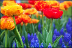 Cretaceous Tulips (Ronaldo F Cabuhat) Tags: travel flowers vacation ny newyork macro art love nature colors closeup canon garden photography photo spring lowlight scenery colorful tulips image artistic outdoor pastel creative picture visit scene creation albanyny depth springflowers mothersday tulipfestival albanynewyork washingtonpark happymothersday springcolors canonef24105mmf4lisusm bedofflowers albanytulipfestival colorphotoaward canoneos5dmarkii cabuhat cretaceoustulips