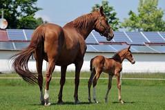 DSC_6767 (Dorothee Rie) Tags: horse weide pferd fuchs filly foal koppel poulain fohlen stute