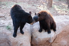bearizona black bears; wild wonderland