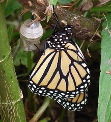 Monarch butterfly newly emerged (nature's gems) Tags: monarchbutterfly danausplexippus butterflylarva wandererbutterfly butterflycaterpillars butterfliesoftheworld