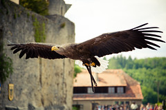 bald eagle (tom_lorenzen) Tags: eagle baldeagle burgguttenberg