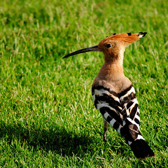 A Hoopoe (varghaD) Tags: thegalaxy freedomtosoarlevel1birdphotosonly freedomtosoarlevel2birdphotosonly freedomtosoarlevel3birdphotosonly freedomtosoarlevel4birdphotosonly freedomtosoarlevel4birdsonly