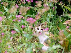I am waiting... (1725canon) Tags: cats cat kitten kat chat gata  gatta