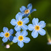 Forget Me Not, Myosotis sp Notts WT (cpt Al Greer)