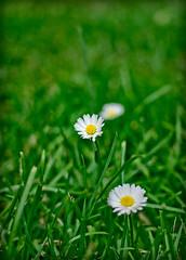 Margaritas/daisies// (daperal) Tags: flowers flores daisies diego margaritas peral     villavert diegoperalvillavert