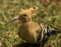 "Hoopee (AntoGros) Tags: wild black bird nature birds indian birding fawn wellington tropical crown ooty hoopoe nilgiris ""the ""indian ""western "" india"" bird"" ""colourful upupidae ""tropical life"" ""wild ""birds birds"" ""spotted ""crown ghats"" feathers"" birdsofnilgiris nilgirisbirds epops"" hoopoe"" ""upupa fawncolouredbird birdingnilgiris birdingooty birdsooty"