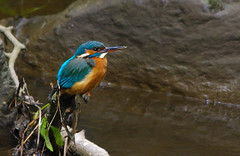 Kingfisher (Alistair Prentice.) Tags: irish lake nature water beautiful female river canal stream colours pentax 150 kingfisher co mating perched identification 500 armagh kx portadown newry tandragee cusher