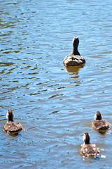Follow the leader (Oreo Cakester) Tags: summer baby lake amanda water river duck nikon duckling sunny 365 alexander d90 365orless oreocakester