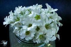365- Jun 19 12 (Lisa2.0) Tags: white black flower macro jar bloom