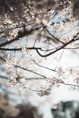 Nara () Tags: japan sakura osaka nara
